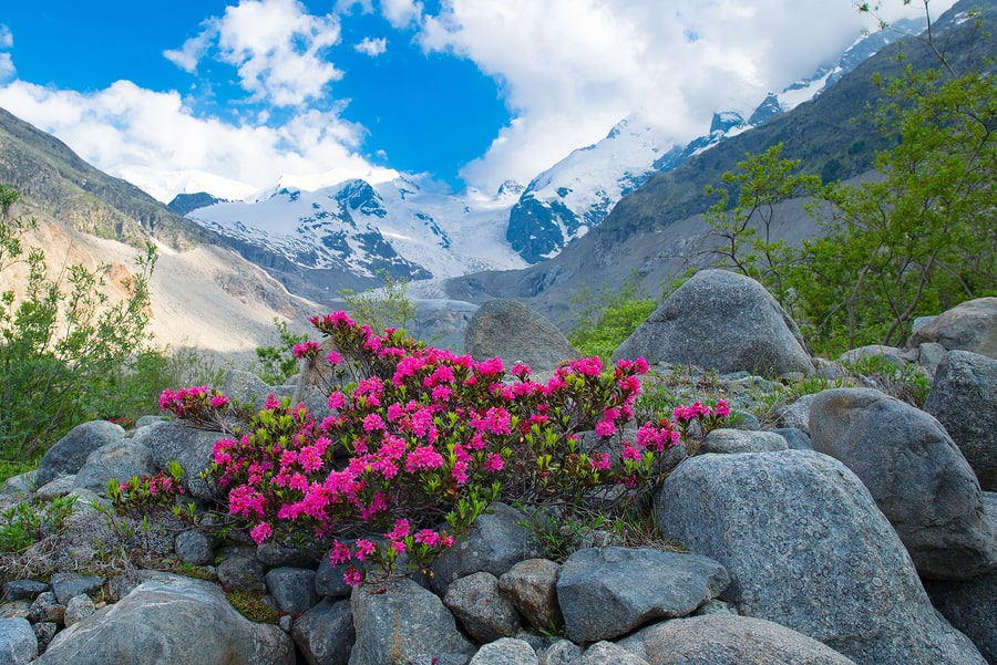 Rhododendrons in the high mountains under an Alpine glacier in the summer